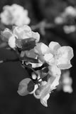 Apple blossoms in spring. In black and white Stock Images