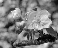 Apple blossoms in spring. In black and white Royalty Free Stock Image