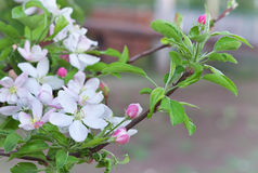 Apple blossoms in spring. Stock Photo