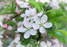 Apple blossoms in spring. Stock Photos