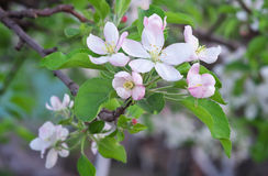 Apple blossoms in spring. Stock Images