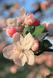 Apple blossoms in spring can use as background Stock Photo