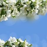 Apple blossoms in spring Stock Photo