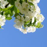 Apple blossoms in spring Stock Photography