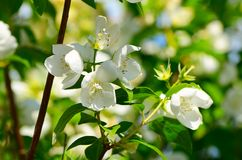 Apple blossoms in spring Royalty Free Stock Photo