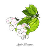 Apple blossoms Stock Image