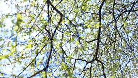 Apple blossoms in spring stock footage