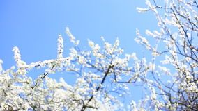 Apple blossoms in spring stock video footage