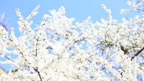 Apple blossoms in spring. Full HD stock footage