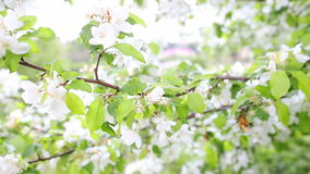 Apple blossoms in spring. Full HD stock video