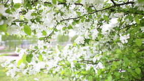 Apple blossoms in spring stock video