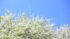 Apple blossoms in spring. Full HD stock video footage