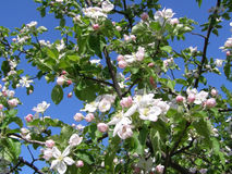 Apple blossoms in the spring garden Stock Photo