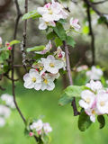 Apple blossoms in spring on green Royalty Free Stock Photos