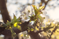 Apple blossoms in spring on green Stock Photos