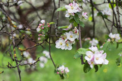 Apple blossoms in spring on green Royalty Free Stock Images