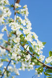 Apple blossoms in spring over the sky Royalty Free Stock Photos