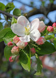 Apple blossoms in spring Royalty Free Stock Image