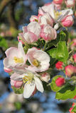 Apple blossoms in spring Stock Images