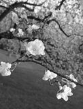 Apple blossoms in spring at sunset. In black and white Royalty Free Stock Images