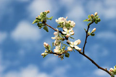 Apple blossoms. Royalty Free Stock Photo