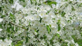 Apple blossoms in spring. Apple-tree flowers in the spring. Bees fly, sit down on flowers stock video