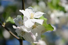 Apple blossoms in springtime Stock Photo