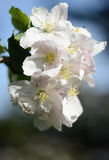 Apple blossoms in springtime Stock Photography