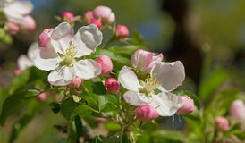 Apple blossoms at springtime Royalty Free Stock Photography