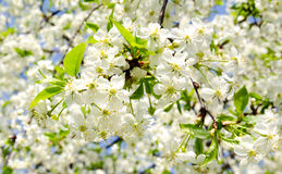 Apple blossoms in sunny day Royalty Free Stock Photos