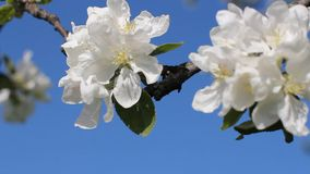 Apple blossoms, sunny day. Spring mood. Flowering tree in a park in spring. Bright blue sky stock video footage