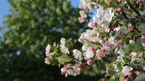 Apple blossoms, sunny day. Spring mood. Flowering tree in a park in spring. Bright blue sky stock footage