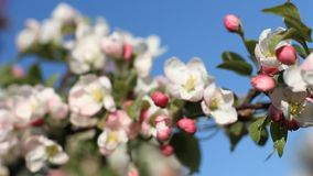 Apple blossoms, sunny day. Spring mood. Flowering tree in a park in spring. Bright blue sky stock video