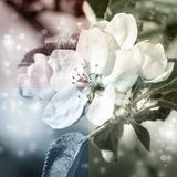 Apple blossoms, tinted picture Royalty Free Stock Image