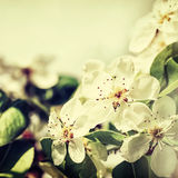 Apple blossoms Stock Photo