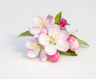 Apple Blossoms. Apple tree flowers (Malus domestica) on a white background with clipping path Stock Photos