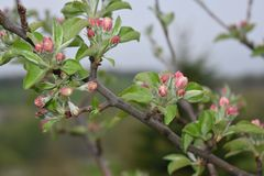 Apple Blossoms on a tree in spring stock photos