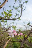 Apple Blossoms on Tree. A view of some pink and white apple blossoms on the branches of an apple tree stock photos