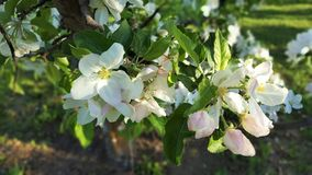 Apple Blossoms Royalty Free Stock Photos