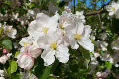 Apple blossoms. White blossoms on apple tree Royalty Free Stock Images