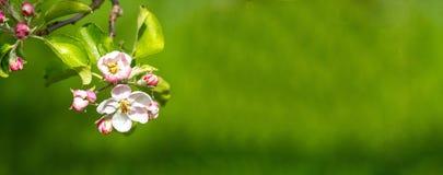 Apple Blossum ως υπόβαθρο Στοκ φωτογραφίες με δικαίωμα ελεύθερης χρήσης