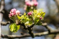 Apple Blossum Στοκ φωτογραφία με δικαίωμα ελεύθερης χρήσης