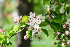 Apple Blossum Στοκ εικόνες με δικαίωμα ελεύθερης χρήσης