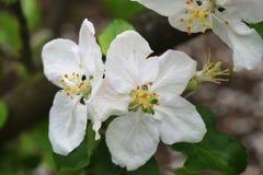 Apple Blossum Stock Images