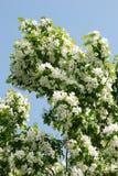 Apple-Blumen stockbilder