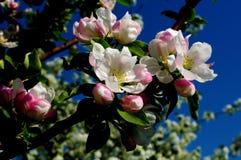 Apple-Blumen Stockfotografie