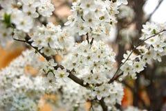 Apple-Blumen auf dem Baum Stockbild