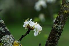 Apple-Blumen im Regen Stockfotografie