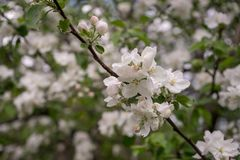 Apple-Blumen sind hallo vom Fr?hling! lizenzfreies stockfoto