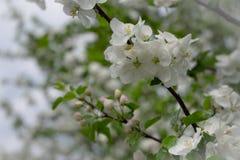 Apple-Blumen sind hallo vom Fr?hling! stockbilder